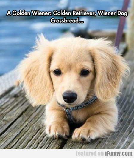 A Golden Wiener Golden Retriever