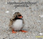 Baby Puffins Are Called Pufflings