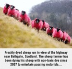 Freshly Dyed Sheep Run In View...