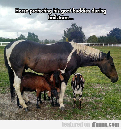 Horse Protecting His Goat Buddies...