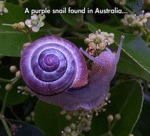 A Purple Snail Found In Australia...