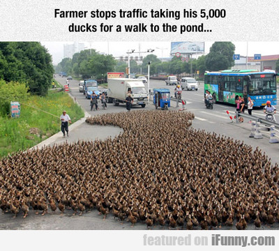 Farmer Stops Traffic Taking His...