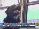 Dog Takes Public Transit To Dog Park Alone