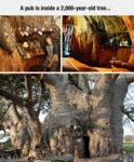 A Pub That Is Inside A 2,000 Year Old Tree...