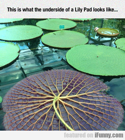 This Is What The Underside Of A Lilly Pad Looks...