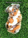 This Is An Australian Shepherd...