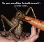 The Giant Weta Of New Zeland Is The Worlds