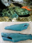 The Blue Lingcod Fish Has Blue Flesh...