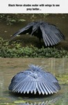 Black Heron Shades Water With Wings To See Prey B