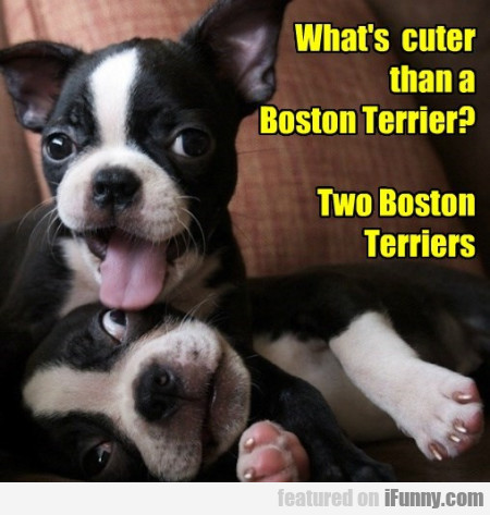 Whats Cuter Than A Boston Terier