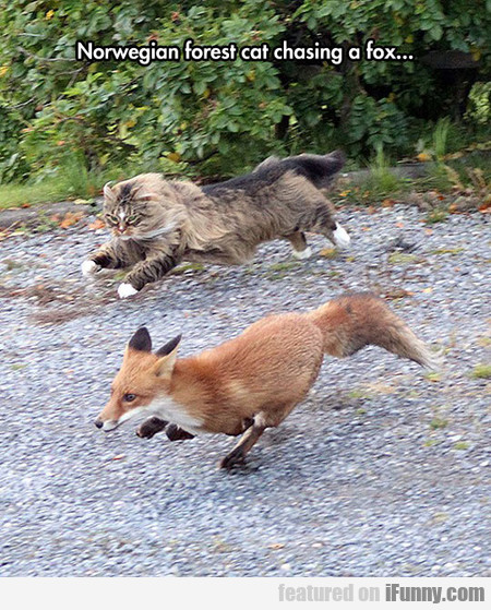 Norwegian Forest Cat Chasing A Fox...