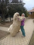 A Magnificent Komondor...