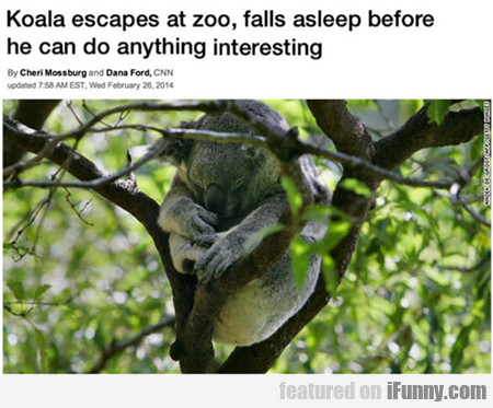 Koala Escapes At Zoo...