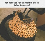 How Many Gold Fish Can You Fit On Your Cat?