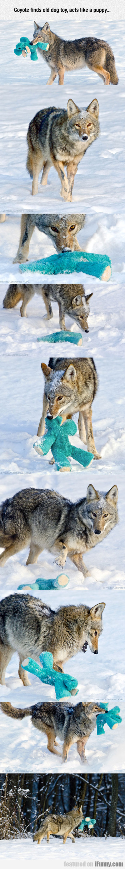 Coyote Finds Old Dog Toy...