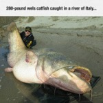 280 Pound Wls Catfish Caught In A River Of Italy