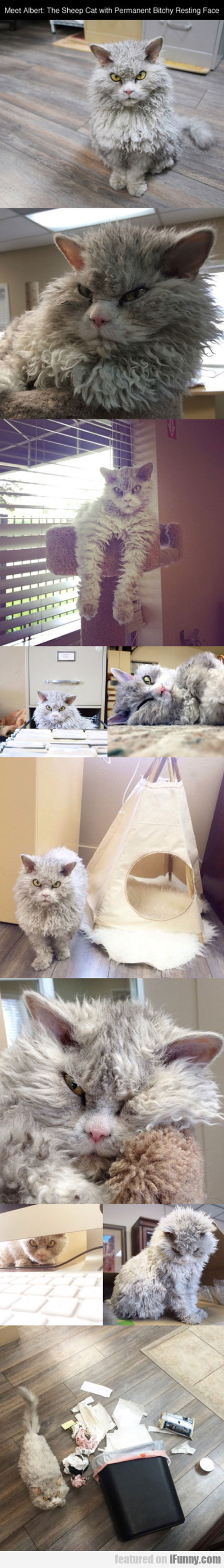Meet Albert The Sheep Cat With Permanent