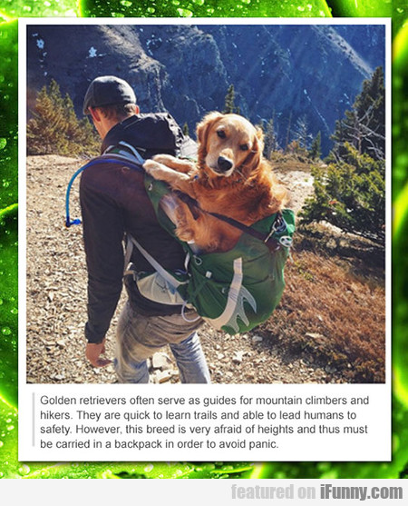 golden retrievers often serve as guides