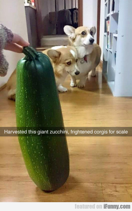 Frightened Corgis For Scale
