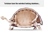 Tortoises Have The Weirdest Skeletons...