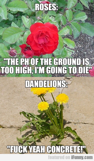 roses: the ph is too high...