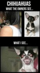 The Truth About Chihuahuas