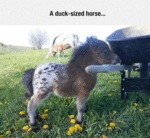 A Duck Sized Horse...