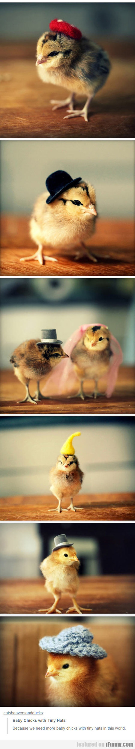 Baby Chicks With Tiny Hats