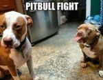 Terrific Pitbull Fight