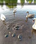 Swans Watching Turtles Fight