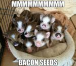Mmmmmmmmmmmmm Bacon Seeds