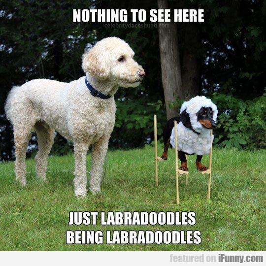 Just Labradoodles Being Labradoodles