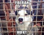 Meet The Fiberian Hufky