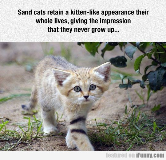 Sand Cats Retain
