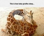 This Is How Baby Giraffes