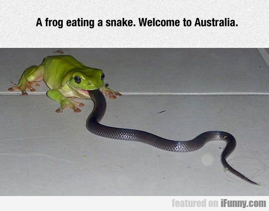 A Frog Eating A Snake. Welcome To Australia