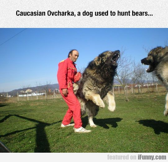 Caucasian Ovcharka, A Dog Used To Hunt