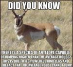 There Is A Species Of Antelope