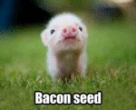 Bacon Seed...