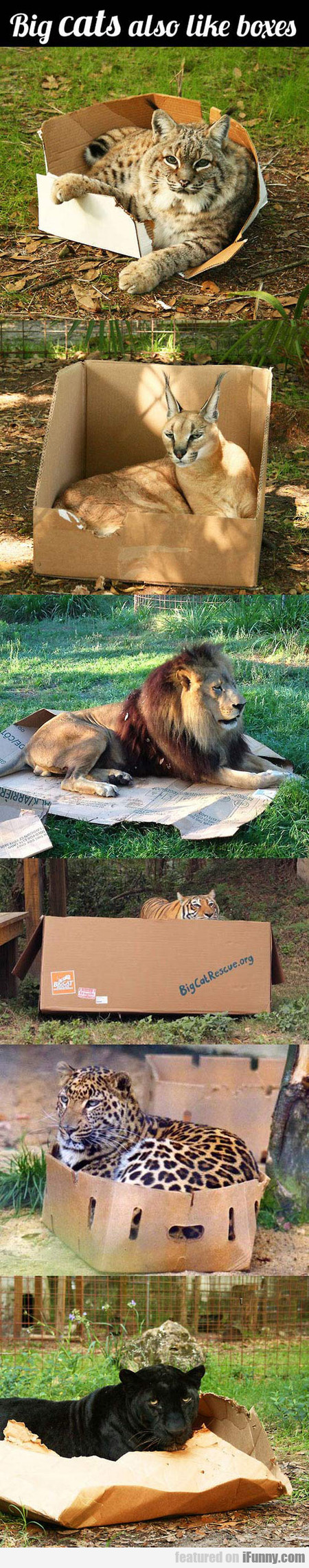 Big Cats Also Like Boxes