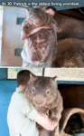 At 30, Patrick Is The Oldest Living Wombat