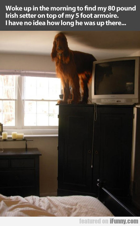Woke Up In The Morning To Find My Irish Setter