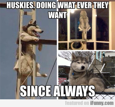 huskies, doing whatever they want