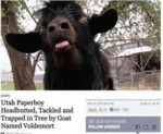 Utah Paperboy Headbutted By A Goat...