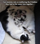 Two Mommy Cats Co-mothering The 8 Babies They Had