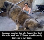 The Russian Bear Dog