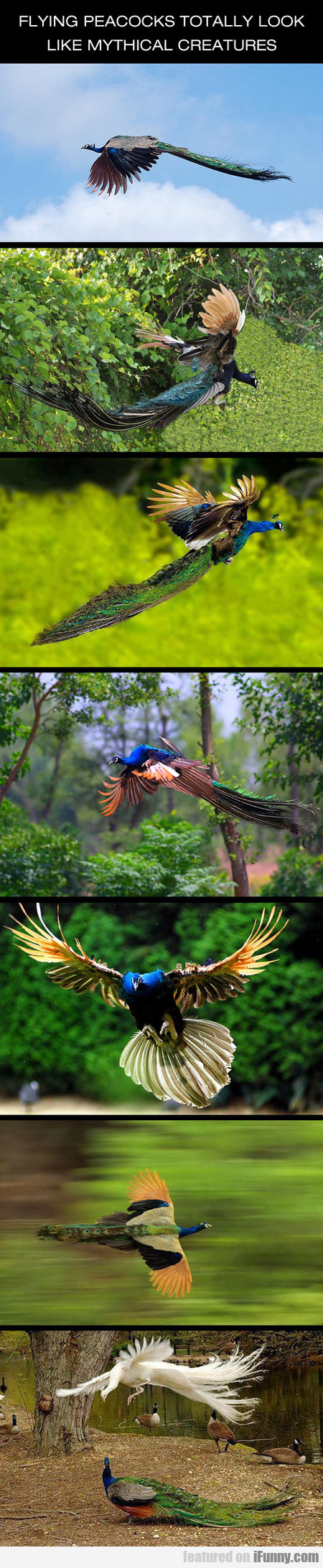 Awesome Flying Peacocks