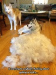 A Warning To Anyone Who Wants A Husky...