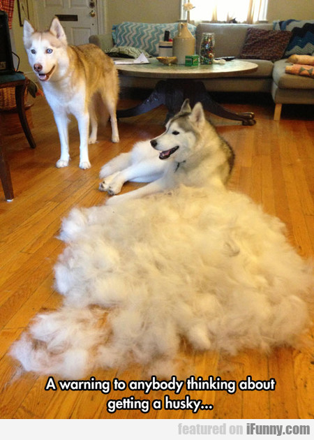 Warning To Anybody Thinking About Getting A Husky
