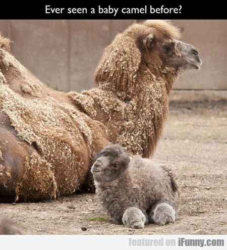 Ever Seen A Baby Camel Before?